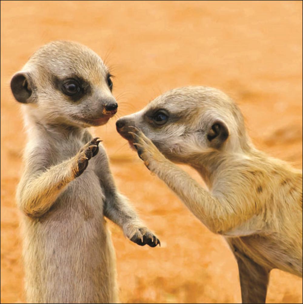 Meerkats Square Greeting Card Blank Inside
